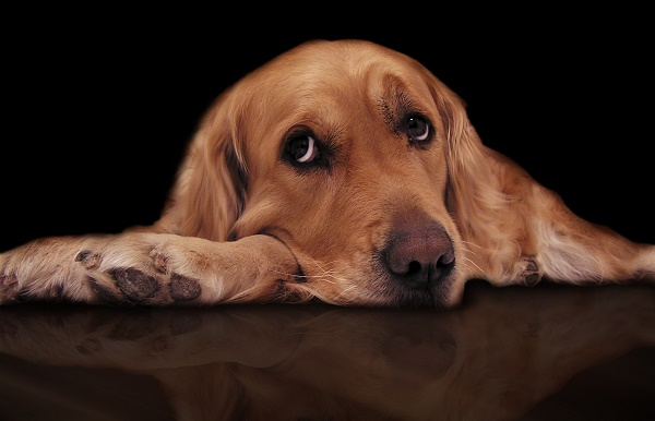 Golden-Retriever Sad