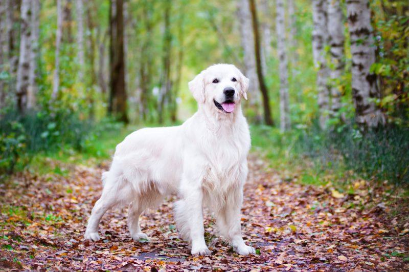 Interesting facts about the golden retriever daily for Golden retriever puppies information